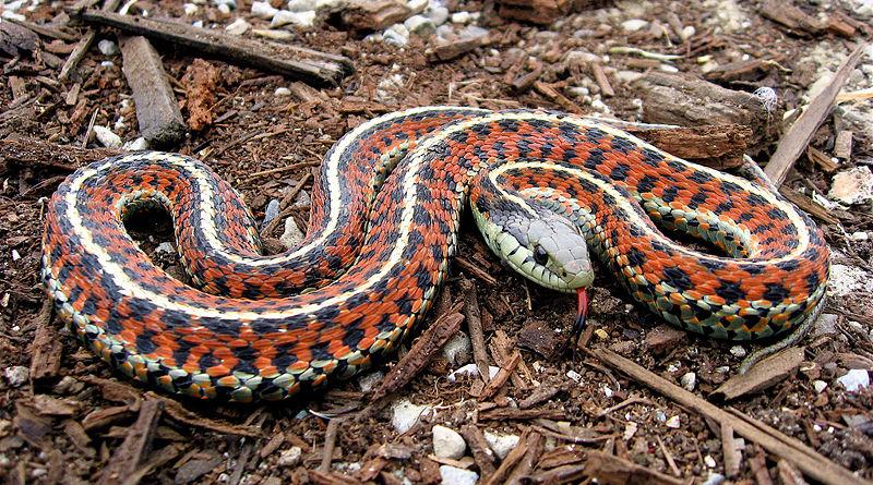 Blue eyed Garter snake ?   Snake found in my compost heap ...   Garter Snake Teeth